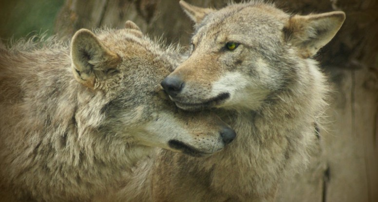 Good wolf and and wolf