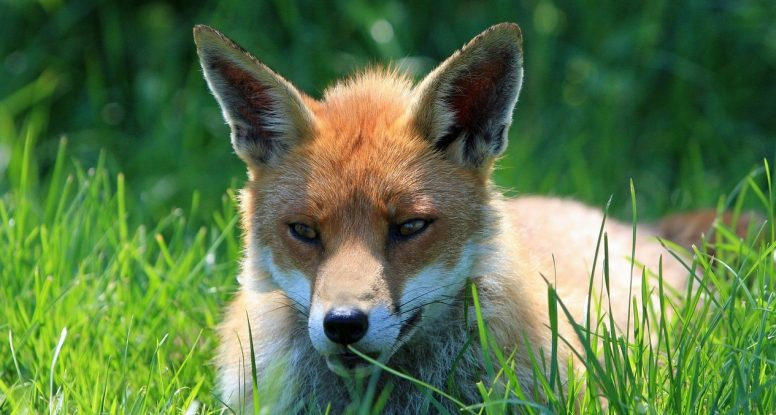 fox in grass